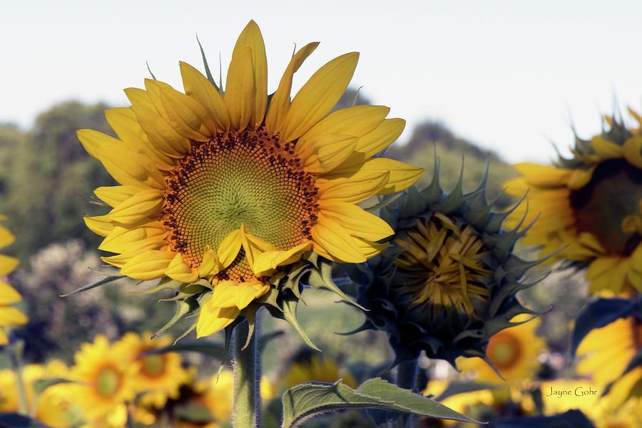 Sunflower Photograph - Morning Prayer by Jayne Gohr