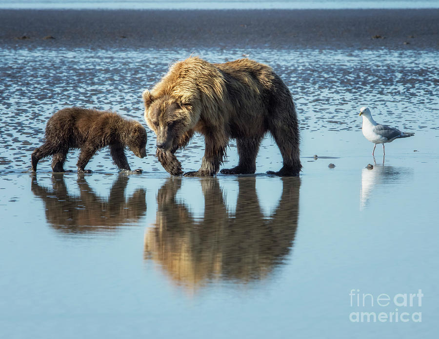 Grizzly Bear Photograph - Morning Reflections by Claudia Kuhn