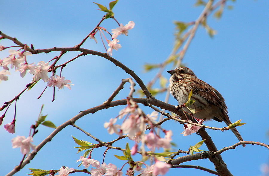 Bird Photograph - Morning Song Sparrow by Rosanne Jordan