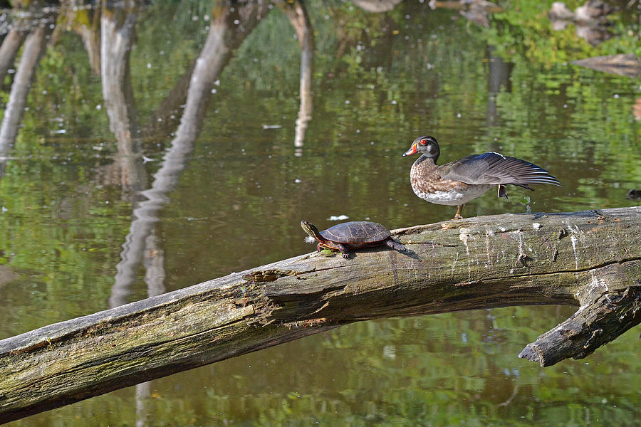 Wood Duck Photograph - Morning Stretch by Asbed Iskedjian