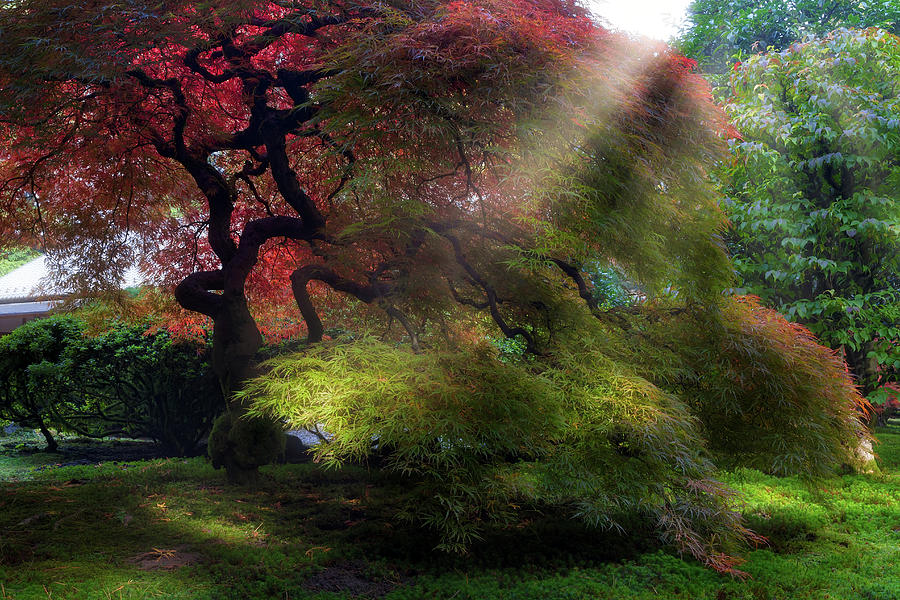 Japanese Photograph - Morning Sun Rays on Old Japanese Maple Tree in Fall by David Gn
