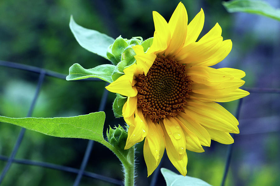 Sunflower Photograph - Morning Sunflower by Jeff Severson