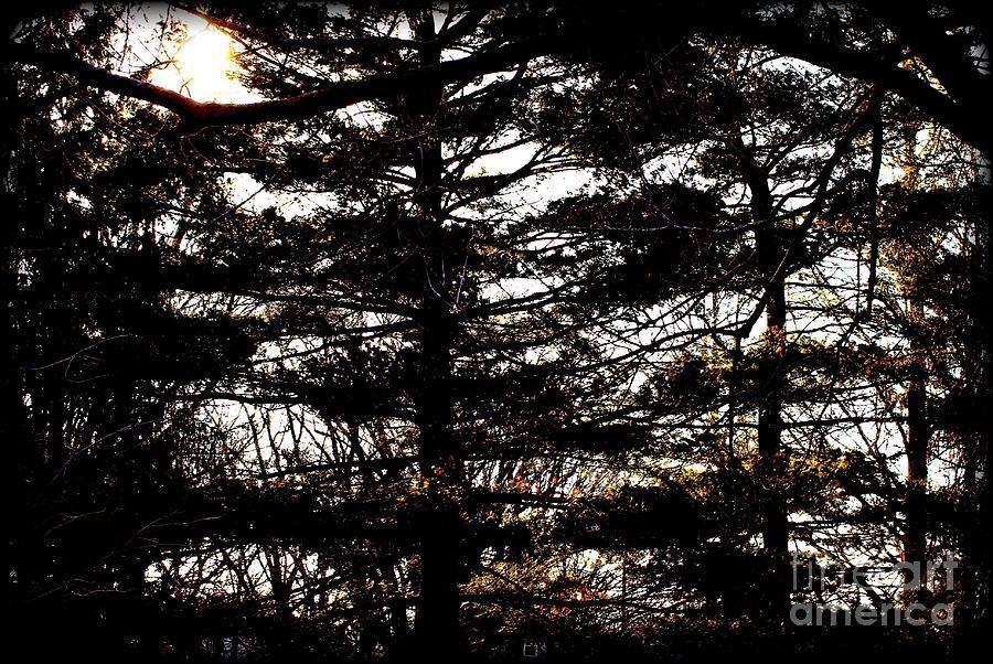 Morning Sunlight Through The Pines Photograph