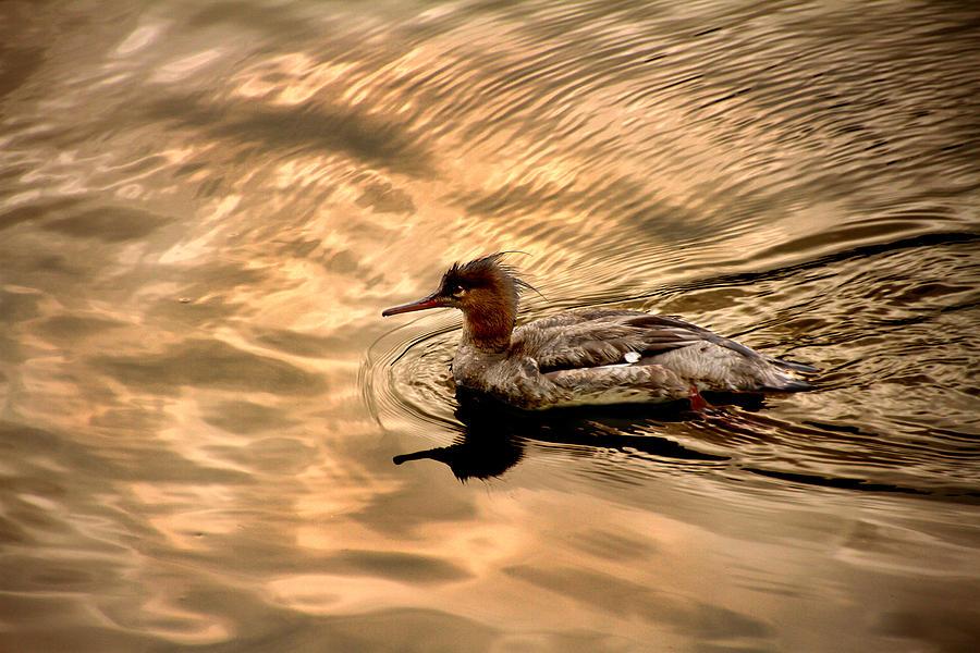 Red-breasted Merganser Photograph - Morning Swim by David Yocum
