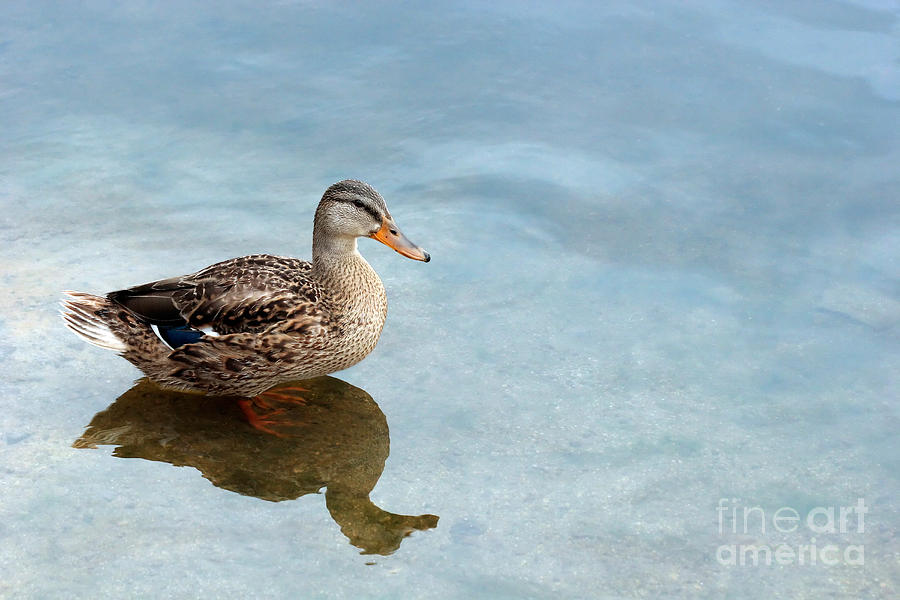 Duck Photograph - Morning Swim by Jeannie Burleson