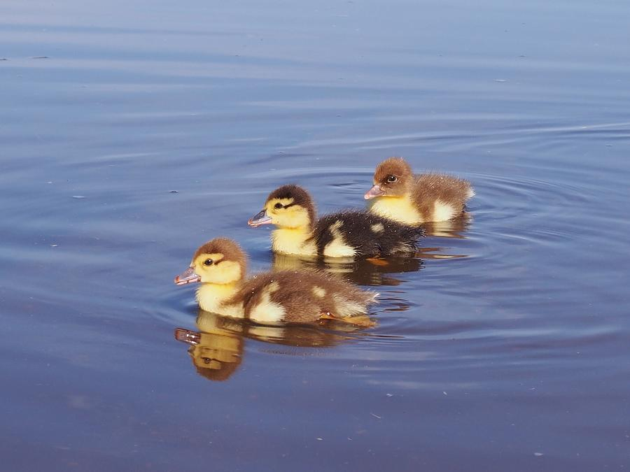 Ducklings Photograph - Morning Swim by Kayla Hall