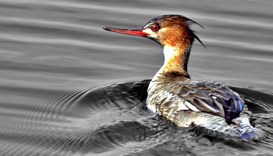 Wildlife Photograph - Morning Swim  by Patricia Black