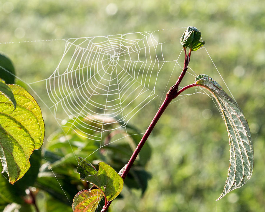 Morning Web #1 by Marc Champagne