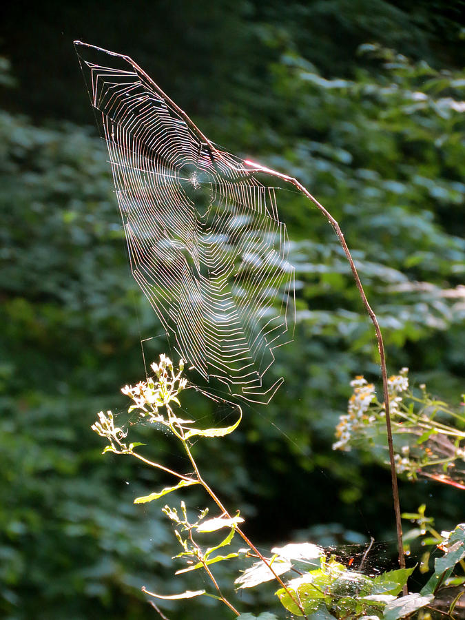 Spiders Photograph - Morning Web by Azthet Photography