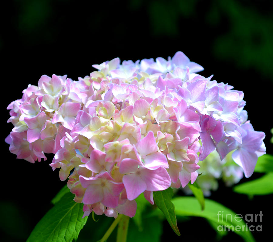 Flower Photograph - Morning Whisper - Hydrangea by H Cooper