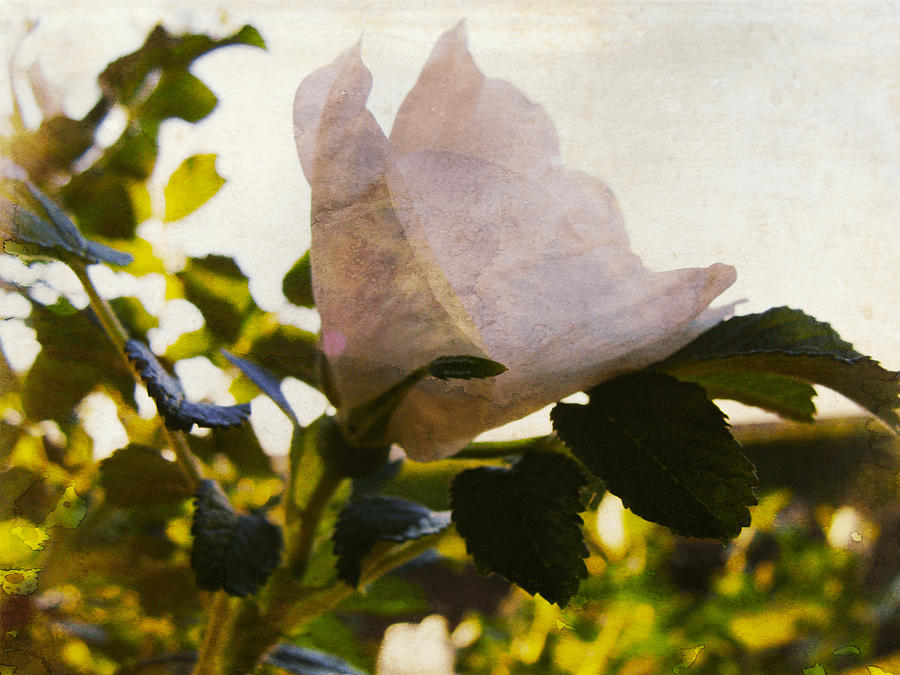 White Rose Photograph - Mornings Rose by Ilona Erwin