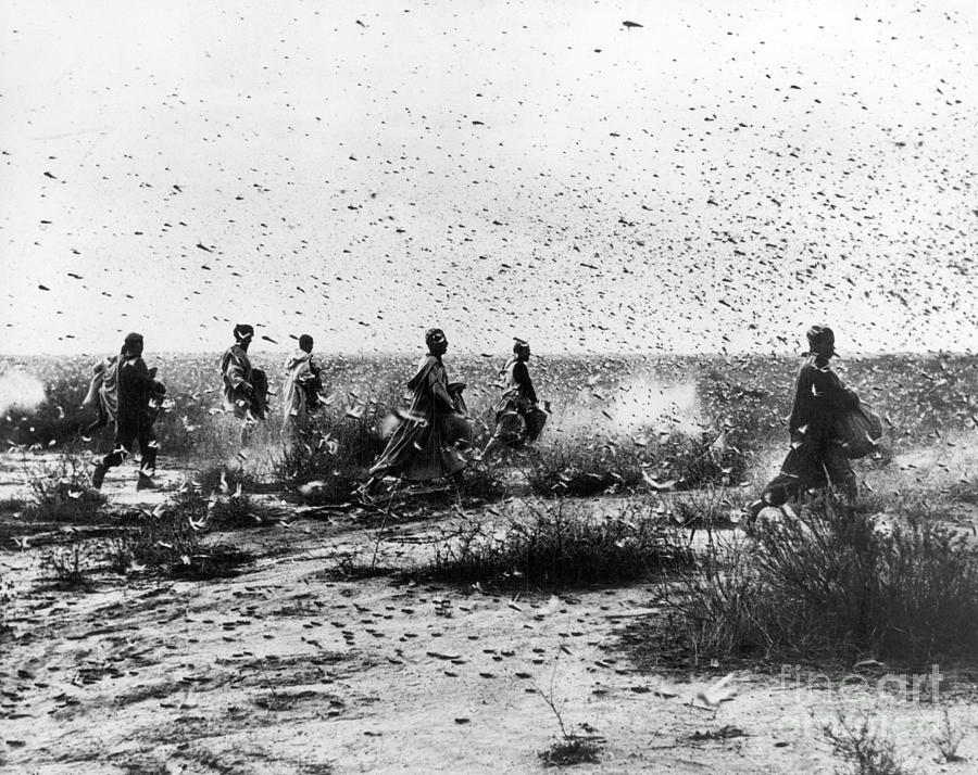 1954 Photograph - Morocco: Locusts, 1954 by Granger