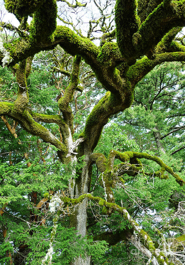 Tree Photograph - Moss Covered Arms by JoAnn SkyWatcher