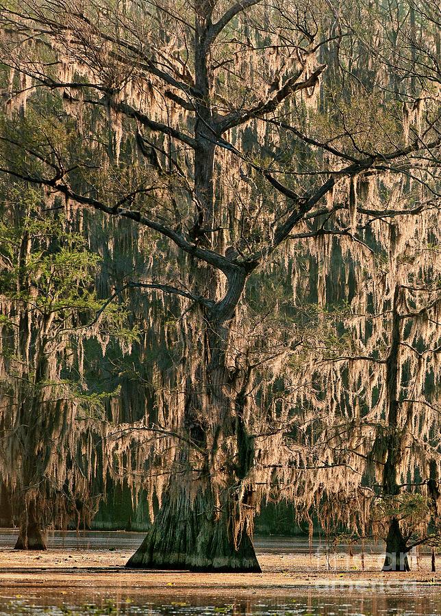 moss draped cypress caddo lake texa by Dave Welling