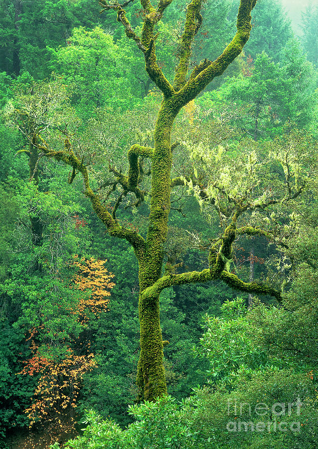 moss draped oak quercus spp central california by Dave Welling