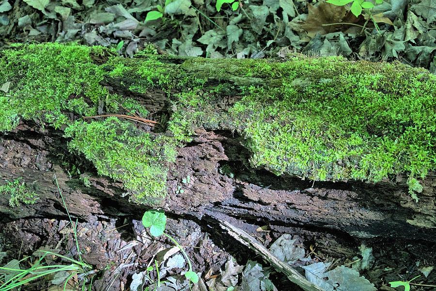 Nature Photograph - Moss On A Log 2 by Richard Goldman