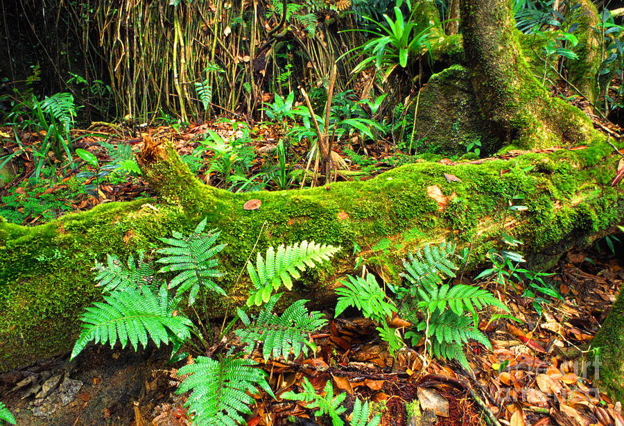 Puerto Rico Photograph - Moss On Fallen Tree And Ferns by Thomas R Fletcher