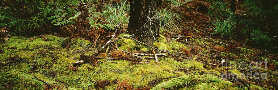 Beautiful Photograph   Mossy Forest Floor By David Cornwell/First Light  Pictures, Inc
