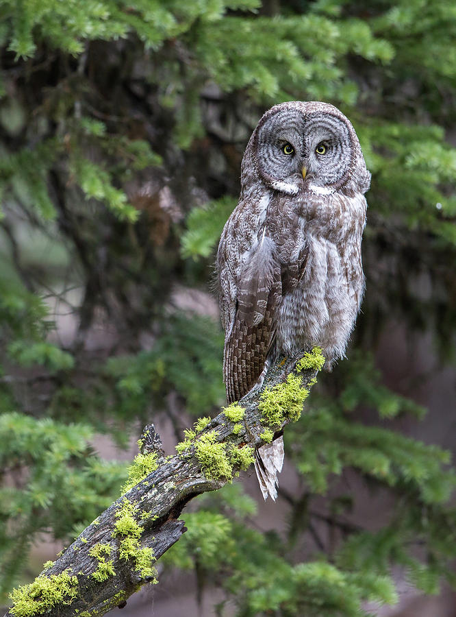 Mossy Great Gray Owl Photograph by Max Waugh