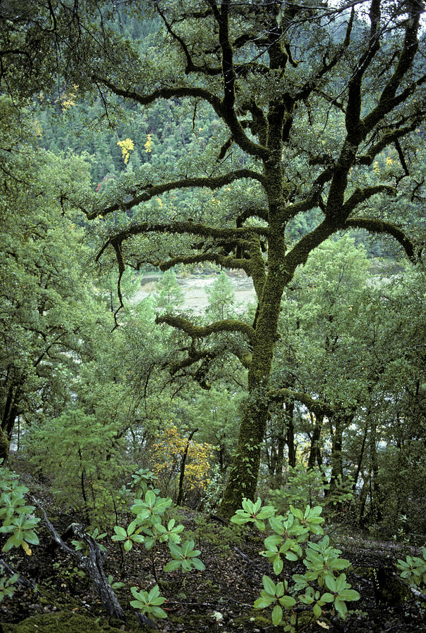 California Photograph - Mossy Tree On The River by Charlie Osborn