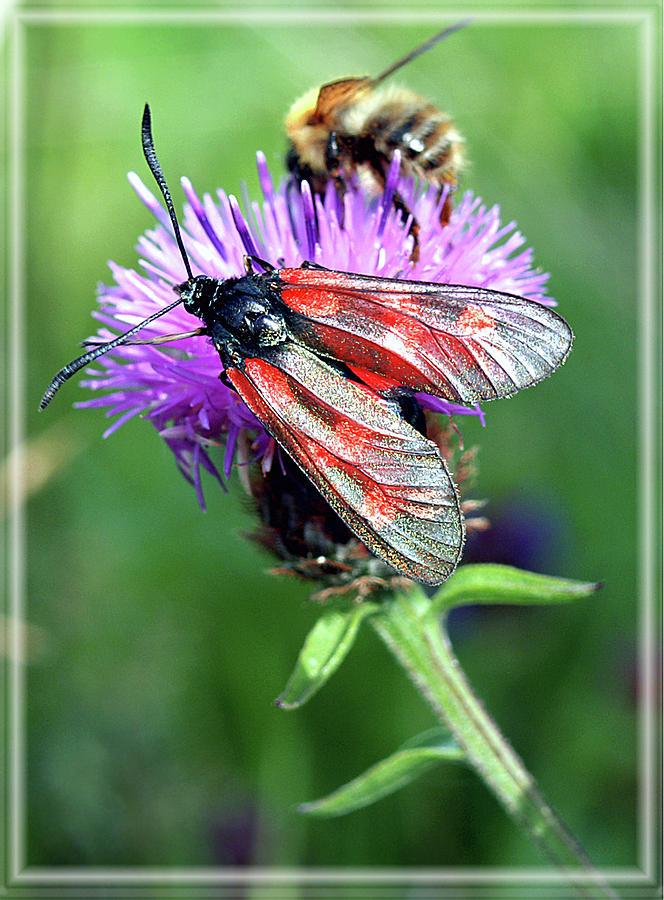Moth Photograph - Moth by Joy Powell