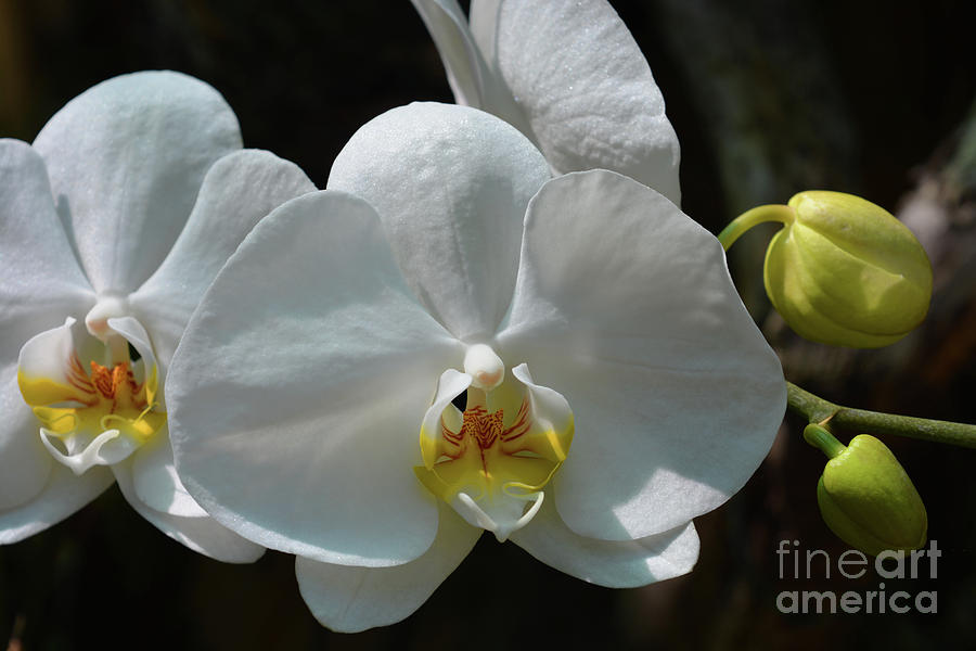 Flower Photograph - Moth Orchid by Josie Elias
