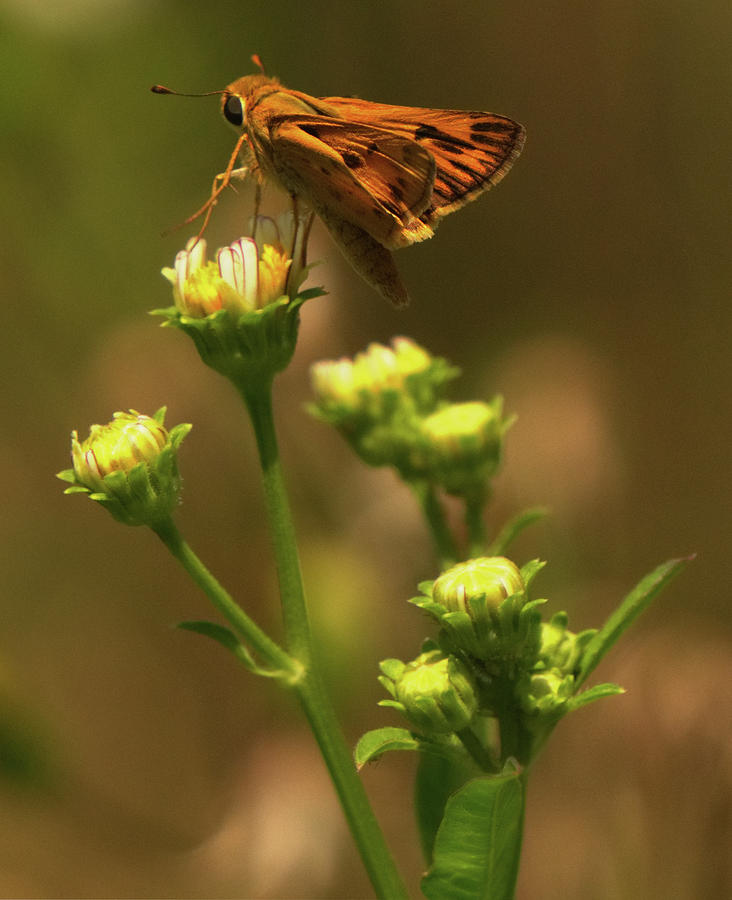 Moth sitting on yellow flower by Vincent Billotto