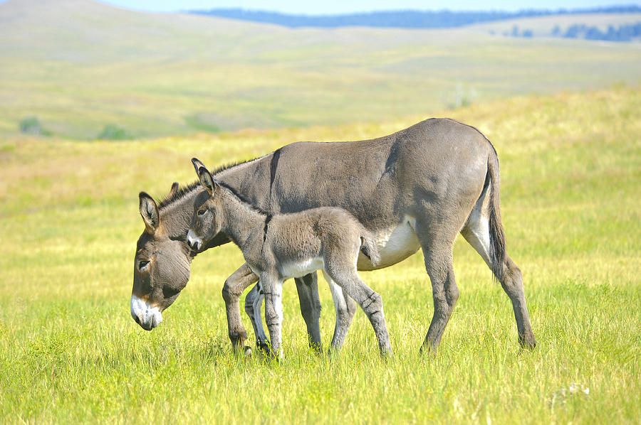 Equus Asinus Photograph - Mother and Baby Burro by Don and Bonnie Fink