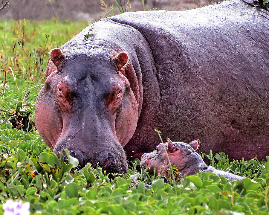 Mother and Baby Hippo by Bart Blumberg