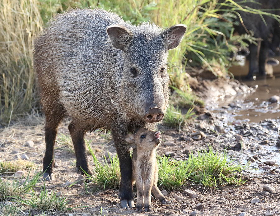 Mother and Baby Javelina by Steve Wolfe