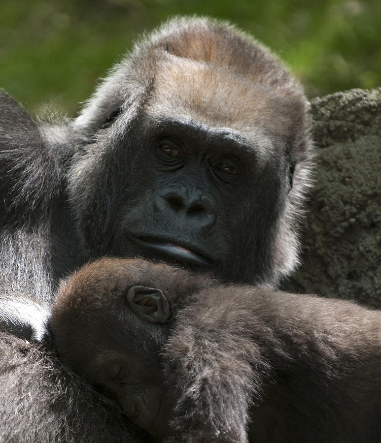 Bronx Zoo Photograph - Mother And Child Gorillas1 by Clifford Pugliese