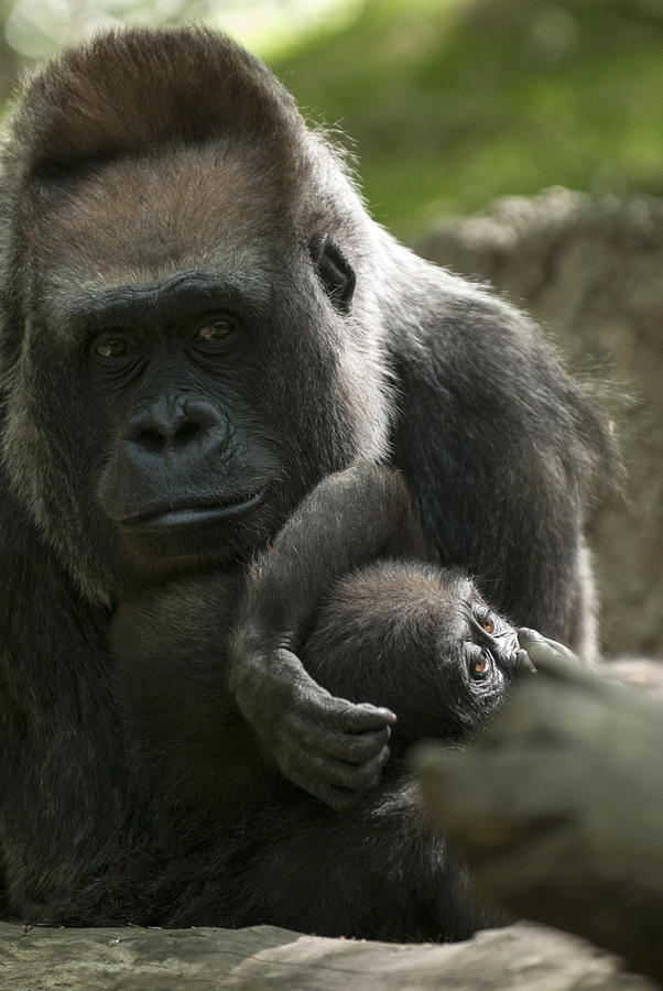 Bronx Zoo Photograph - Mother And Child Gorillas4 by Clifford Pugliese