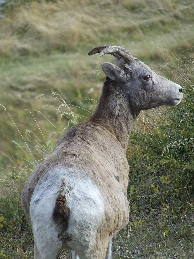 Bighorn Sheep Photograph - Mother Bighorn by Tiffany Vest