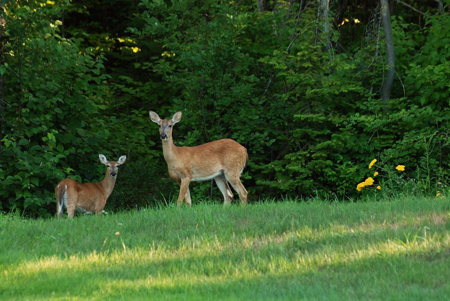Whitetail Deer Photograph - Mother Dear by G  Teysen