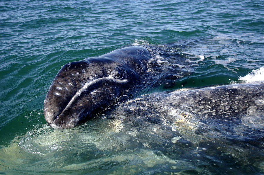 Mother Grey Whale and baby calf by David Shuler