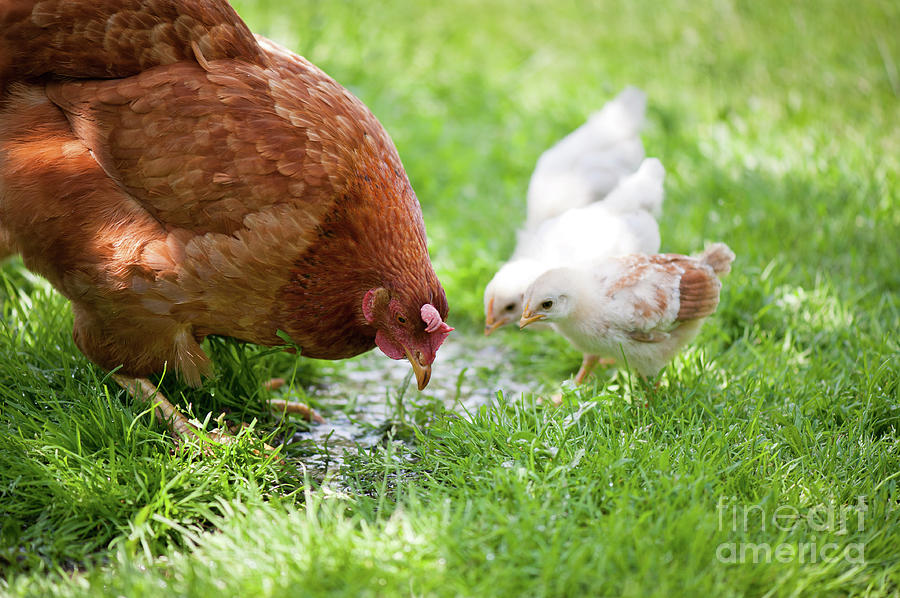 Mother hen teaching chicklings how to drink water by Arletta Cwalina