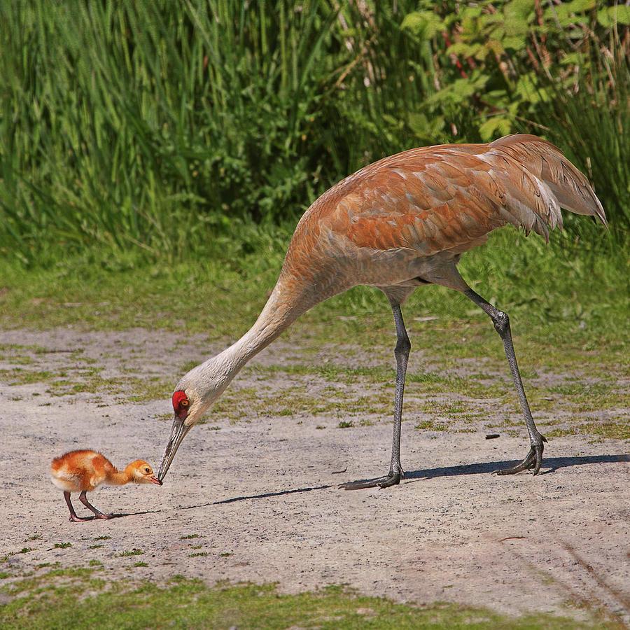 Mother Sandhill Crane Feeding Baby