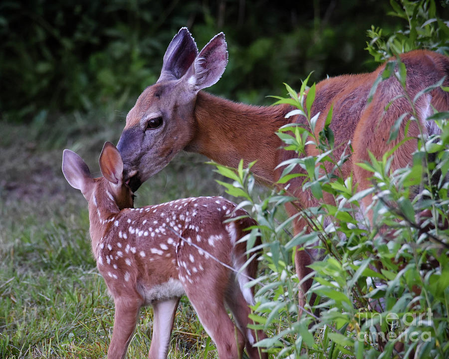 Odocoileus Virginianus Photograph - Mothers Love by Amy Porter