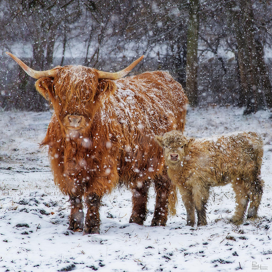 Mother's Love - Scottish Highland Cow And Calf In Snowy ... - photo#30
