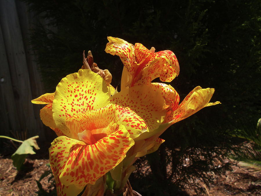 Flower Photograph - Mottled Canna Lilly by Wayne Skeen