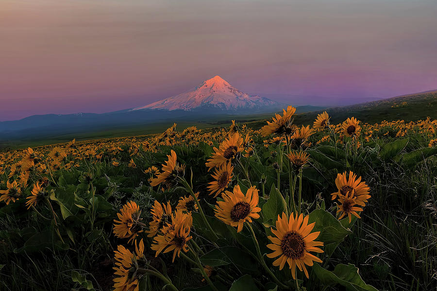 Mount Hood Photograph - Mount Hood And Balsam Root Blooming In Spring by David Gn