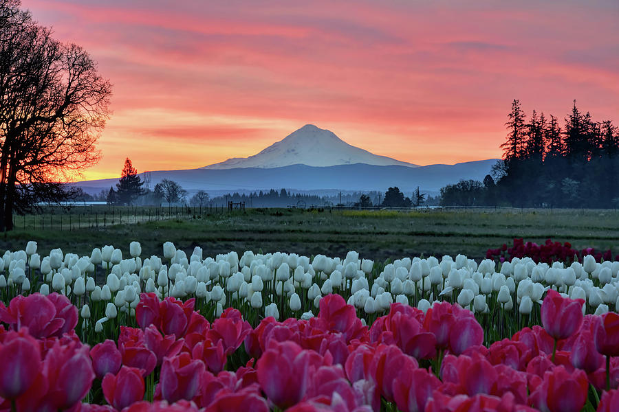 Mount Hood Sunrise by Mark Whitt
