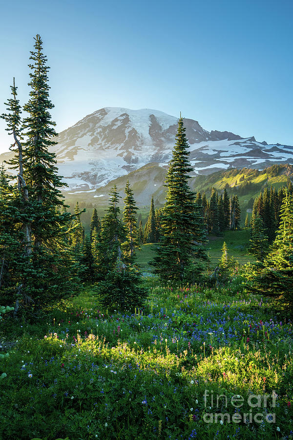 Rainier Photograph - Mount Rainier Golden Meadows Light And Shadows by Mike Reid