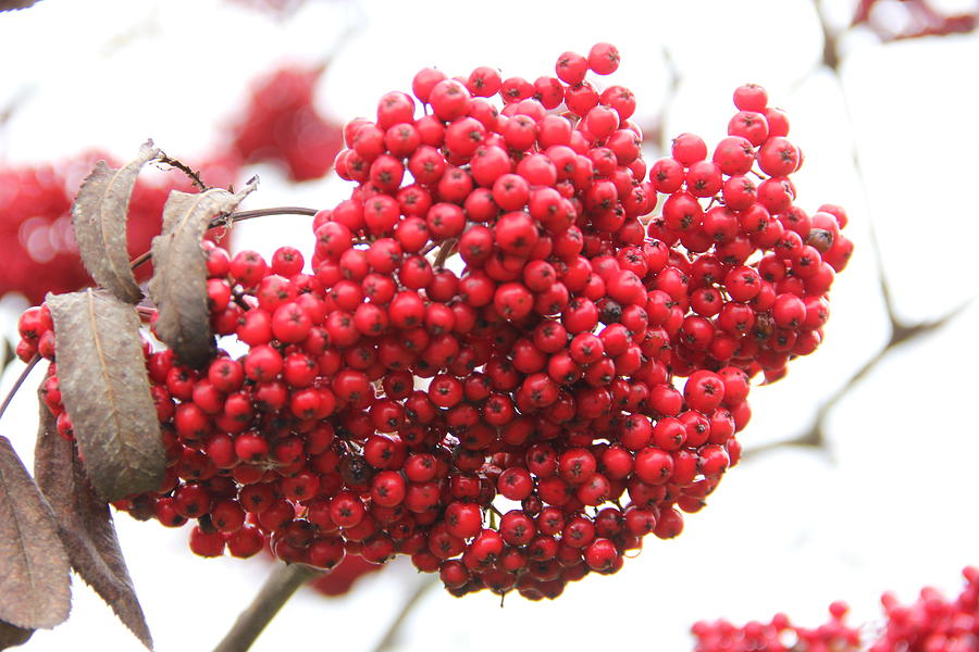 Mountain Ash Photograph - Mountain Ash Berries by Allen Nice-Webb