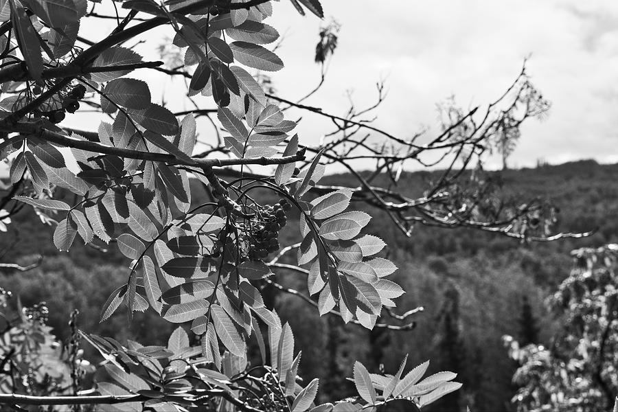 Mountain Ash Photograph - Mountain Ash - Fairbanks Alaska - Monochrome by Cathy Mahnke