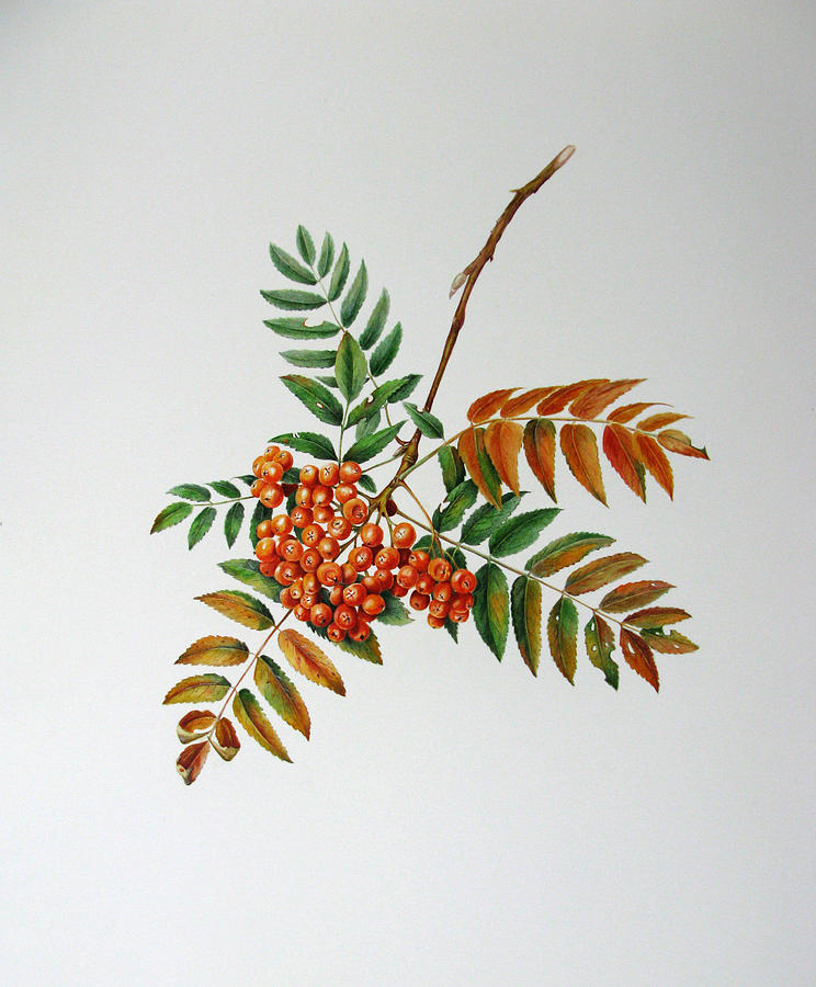 Tree Painting - Mountain Ash  by Margit Sampogna