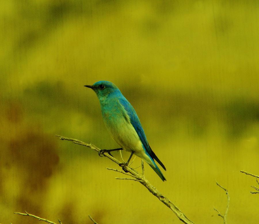 Mountain Blue Bird Photograph