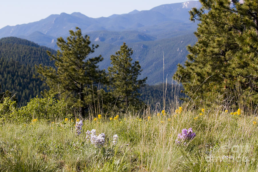 Mountain Bluebell And Wildflowers In Ute Pass Photograph