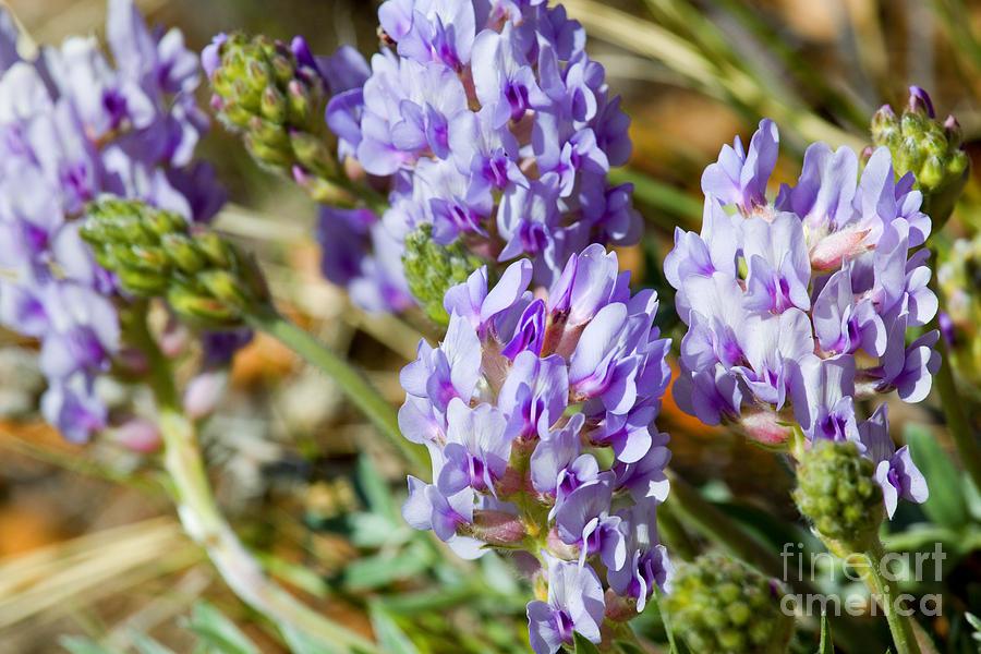 Mountain Bluebell Flowers Photograph