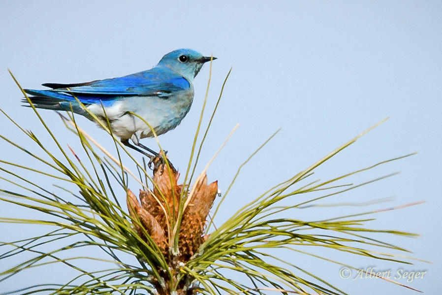 Mountain Photograph - Mountain Bluebird by Albert Seger